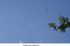 Svalerne flyver højt