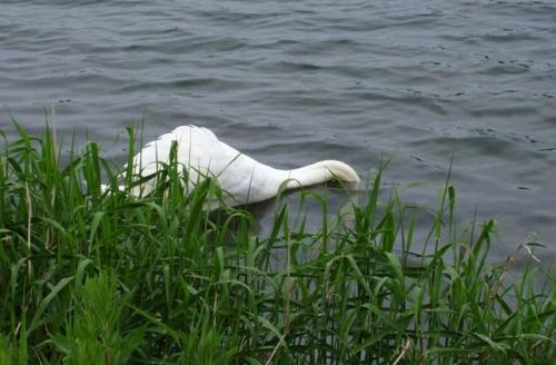Svane i slotssøen