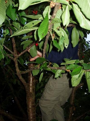 Peer plukker kirsebær