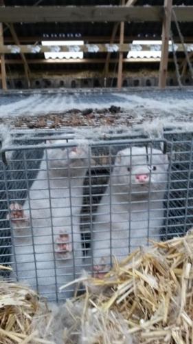 2015 - Hedensted minkfarm