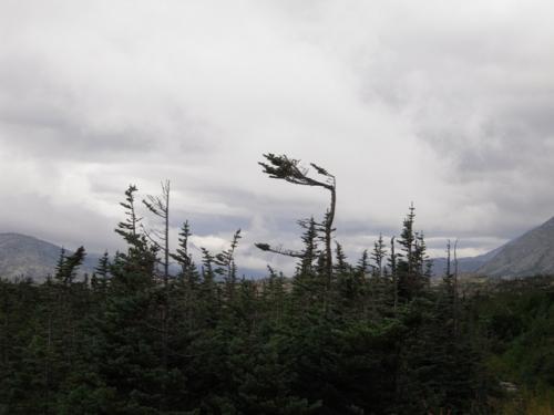 Stærk vind former træerne