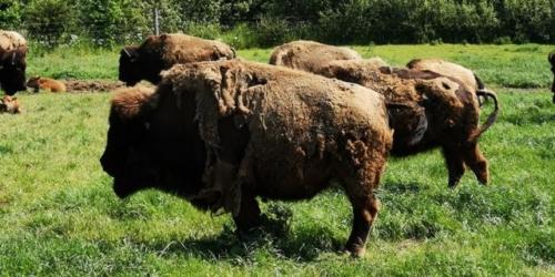 2019 - Ditlevsdal bisonfarm